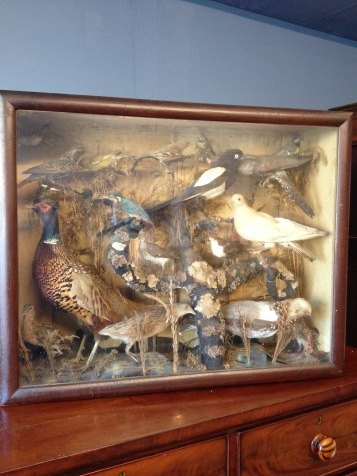 Victorian case of 17 birds - including Corncrake, Cuckoo and Kingfisher