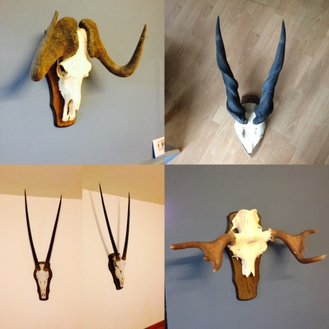 currently have some very nice long horns eland, moose, gemsbok, cape buffalo