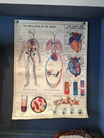 Anatomical posters 1960 – double sided – superb artwork – hard to find with English text – only 3 left - all different £90 each